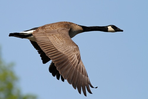 Goose It!